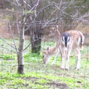 bambis-deer
