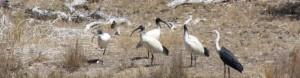 ibis-white-necked-herron