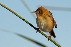 Golden-headed Cisticola Adelaide