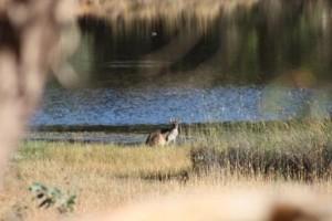 dam-kangaroo
