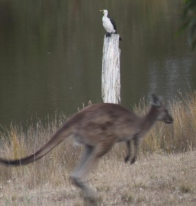 kangaroo-cormorant